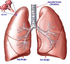 Akciğer Kanserindeki Risk Elementler